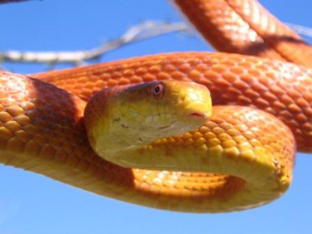 Everglades Rat Snake