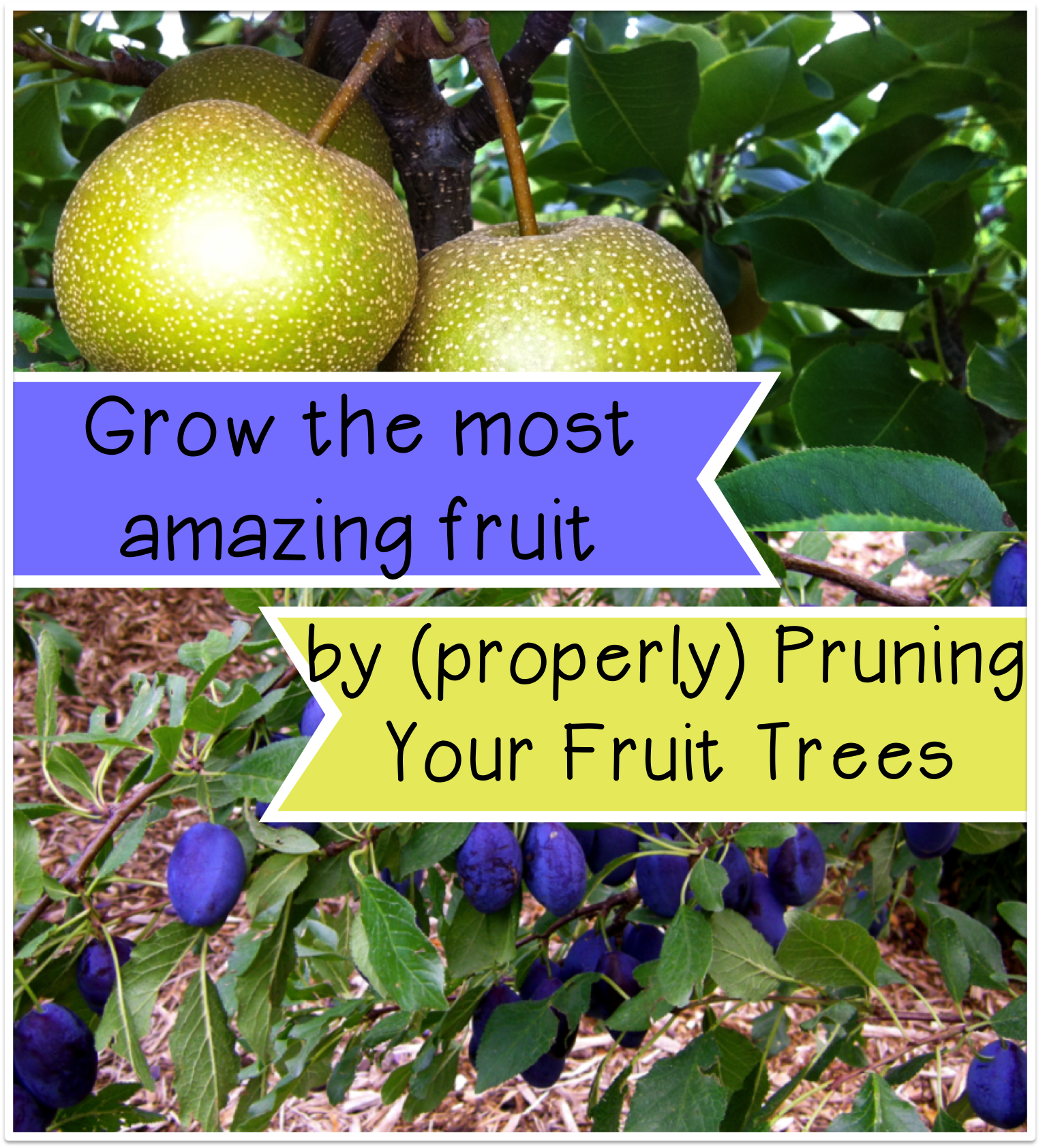 grow-the-most-amazing-fruit-by-properly-pruning-your-fruit-trees